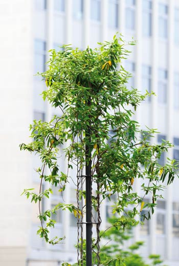 Area - Structure for climbing plants - Babylone